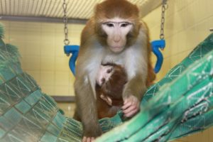 Macaque primate mother holding infant in a swing
